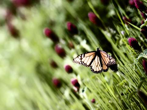 Monarch Butterfly #07