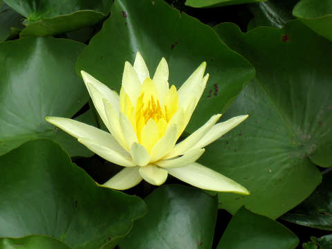 Yellow water lily on green