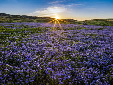 Valley phacelia patch