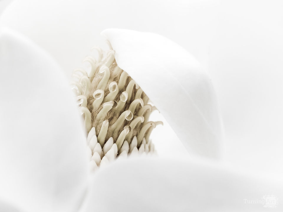 Magnolia abstract i