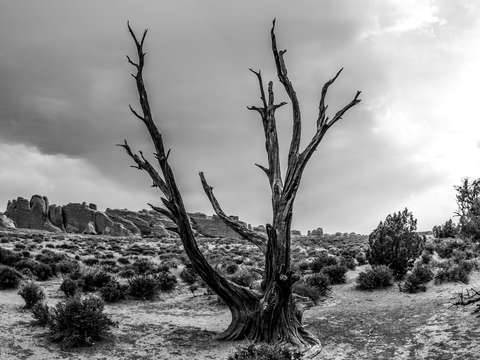 Jagged tree at arches national park bw