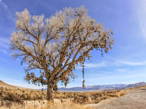 Middlegate nevada shoetree