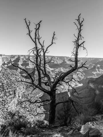Scraggly tree in grand canyon