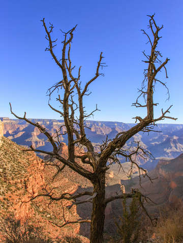Scraggly tree in grand canyon 2
