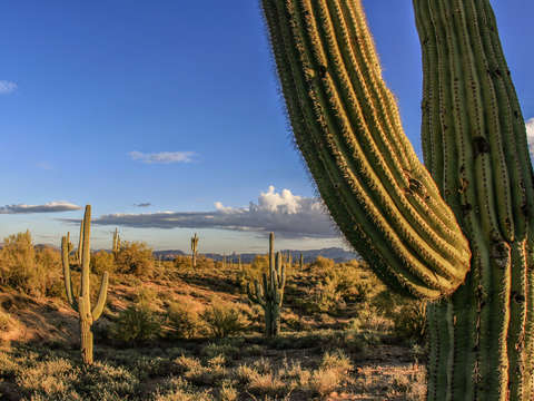 Giant cactus in arizona