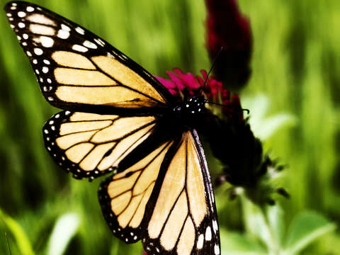 Monarch Butterfly #11