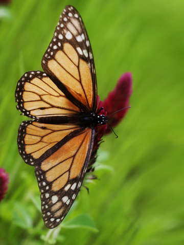 Monarch butterfly 13