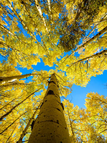 Aspens flowing to the sky