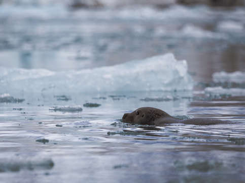 Bearded seal in svalbard