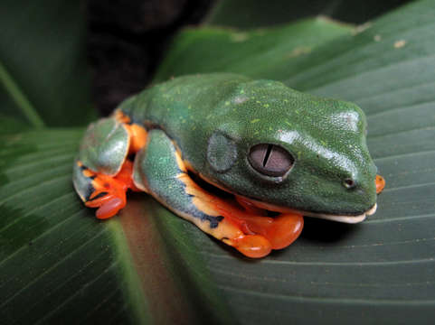 Tree frog on leaf