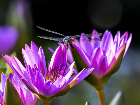 Dragonfly on a waterlily