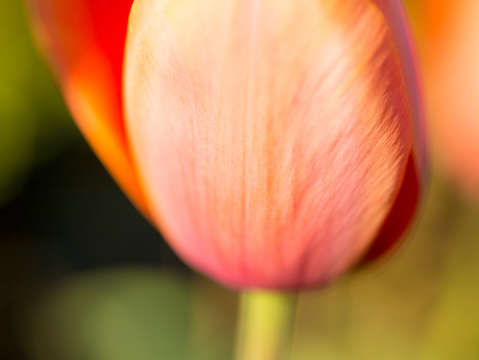 Orange tulip up close