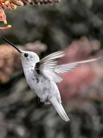Leucistic annas hummingbird in flight