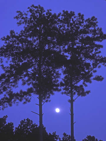 Moon and pine trees 55u0503