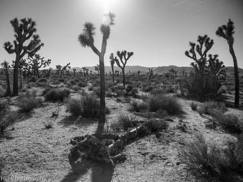 Silhouettes of joshua tree