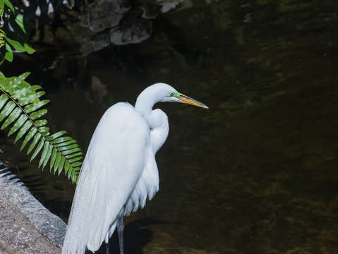 Great whit egret