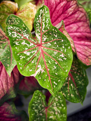 Angel wings caladium 5946