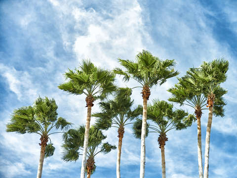 Palm trees 1412