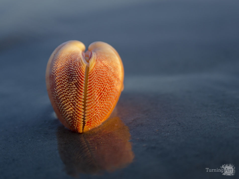 Nemocardium bechei seashell 2780 on the beach