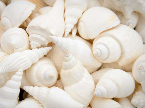 White seashells 9355