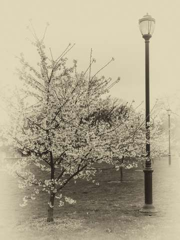 Flowering trees in sepia