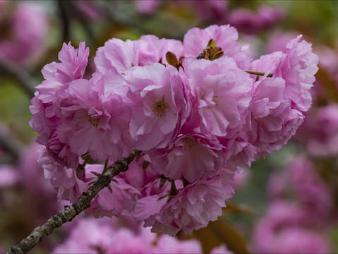 Cherry blossoms 2 4