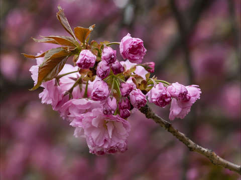 Cherry blossoms 5 2