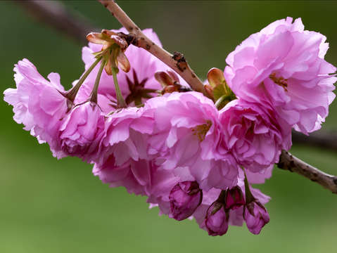 Cherry blossoms 6 2