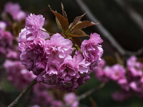 Cherry blossoms 8