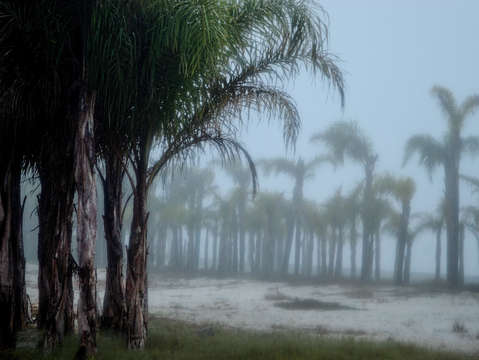 Fog in the palms