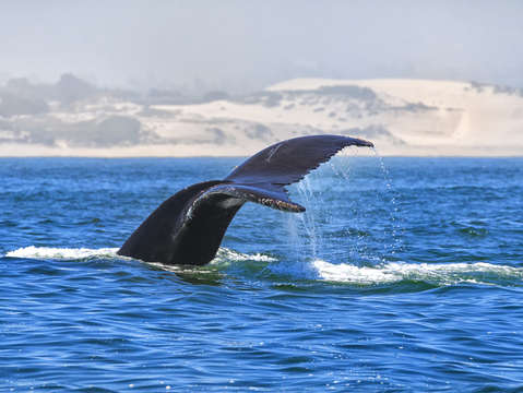 Humpback whale monterey