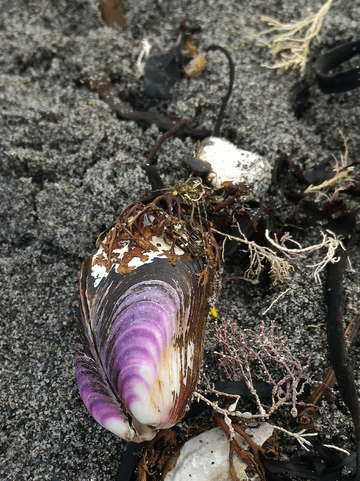 Purple mussel 2