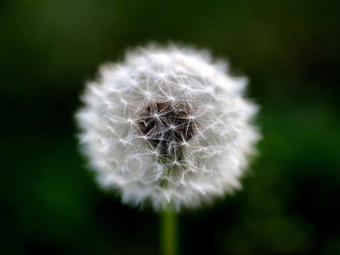 The heart of the lonely dandelion
