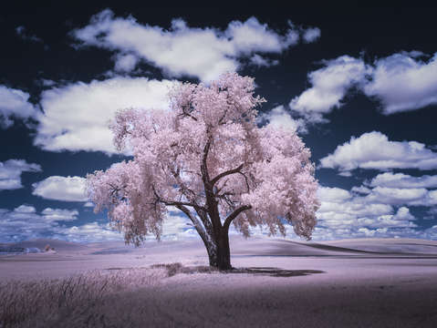 Pink cottonwood