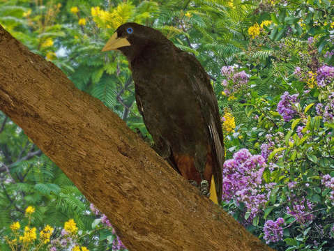 Oropendola on a limb