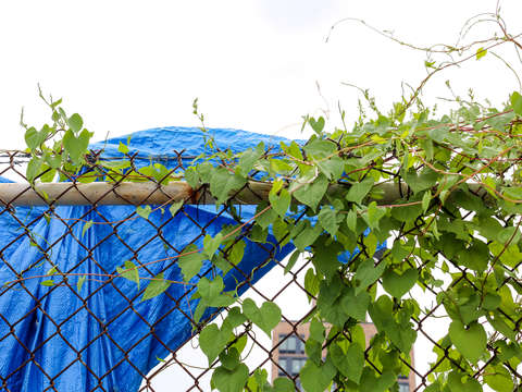 Lower east side vines and blue tarp along a fence