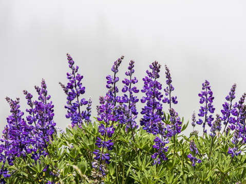 Lupine in the mist