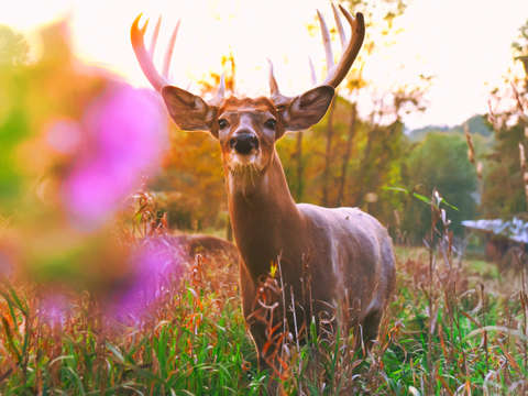 Wildflower whitetail