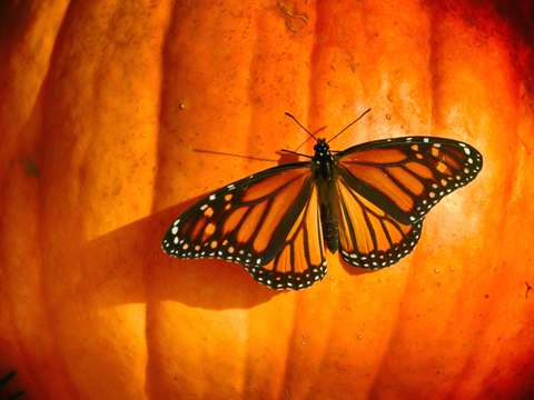 Autumn monarch