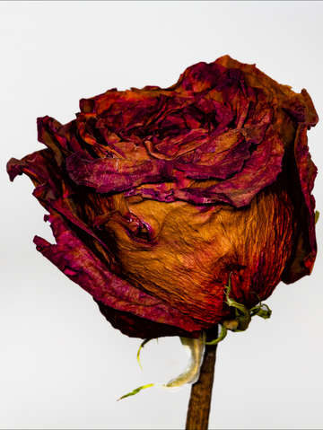 Dried rose 2