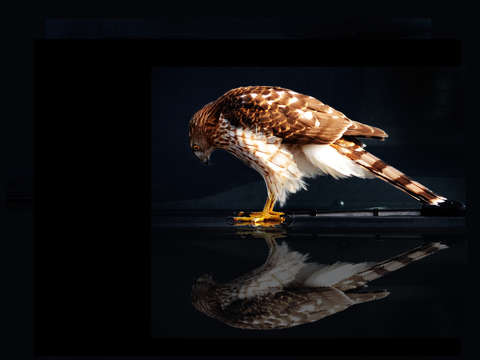 Coopers hawk reflection