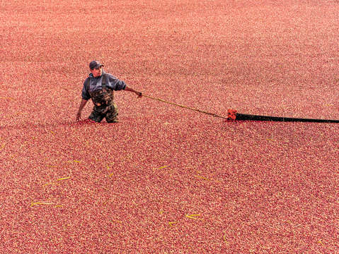 Cape cod cranberry harvest 2