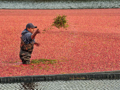 Cape cod cranberry harvest 3