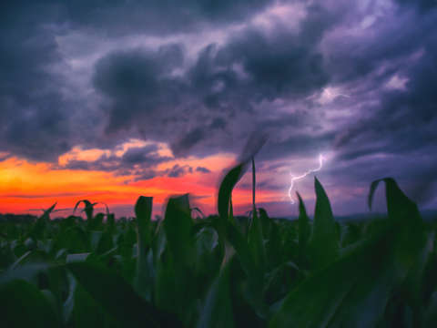 Corn field in flux