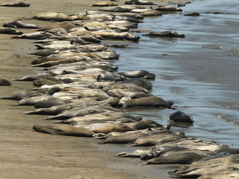 50 shades of elephant seal