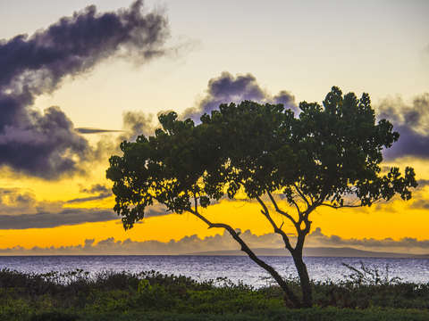 Hawaiian banyan tree