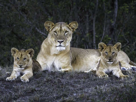 Kenya lion family 0163