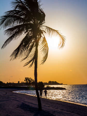 Palm tree at higgs beach in key west florida