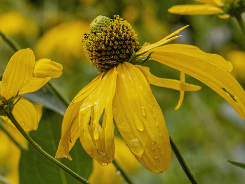 Sunflower and raindrops