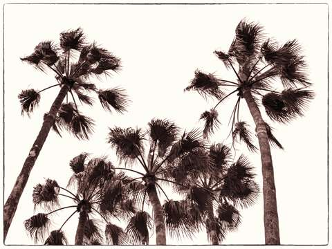 Copper palms